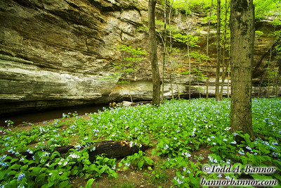 Virginia bluebells (Mertensia virginica). Illinois Canyon, Starved Rock State Park