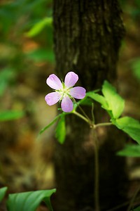 Wild geranium.