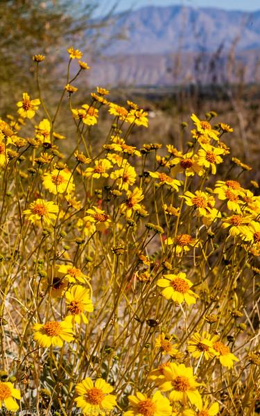 Brittlebush, Anza-Borrego Desert State Park