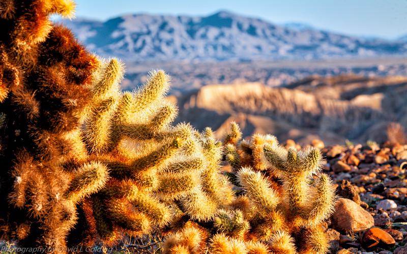 Cholla Cactus, Anza-Borrego Desert State Park