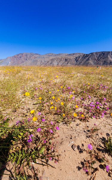 Flower Field, Henderson Cyn Rd, Anza-Borrego Desert State Park