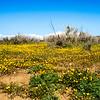 Califronia Poppys