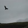 Raptor mid-flight
