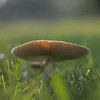 """Mushroom in Morning Light"""