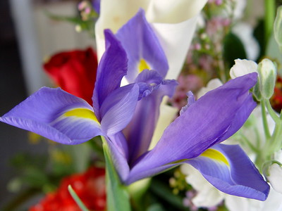 Beautiful Iris from a Valentine's Day Bouquet
