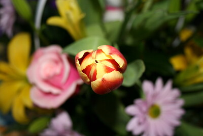 Beautiful Tulip from an Easter Bouquet