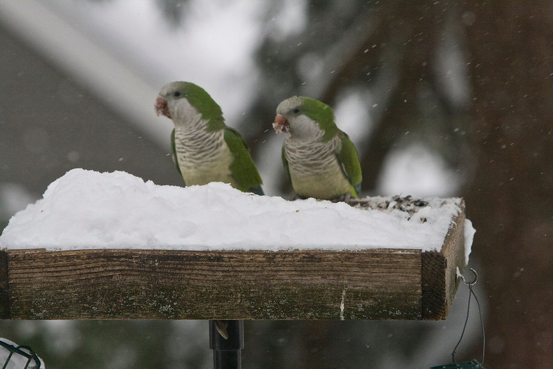 Monk parakeets, unusual at our bird feeder, were among the many visitors.