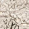 Dogwood buds in snow. February 18, 2018.