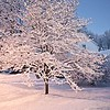 Dogwood tree in snow, early morning,  February 18, 2018, 6 a.m.