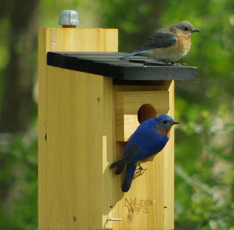 Bluebirds 2016