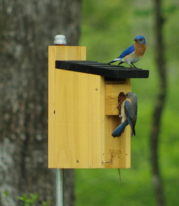 male and female bluebirds building their nest
