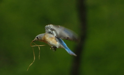 Female Bluebird in flight
