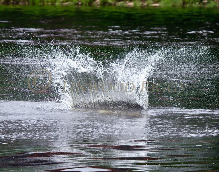 sturgeon splash, Kennebec River, Augusta, Maine