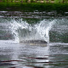 sturgeon splash, Kennebec River, Augusta, Maine