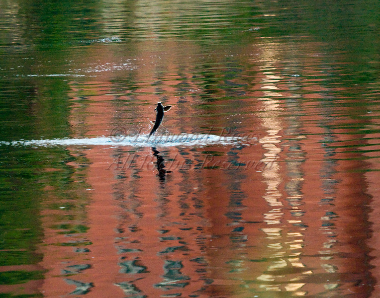 A sturgeon jumps through the reflection in the Kennebec River at Augusta, Maine. July, 2010