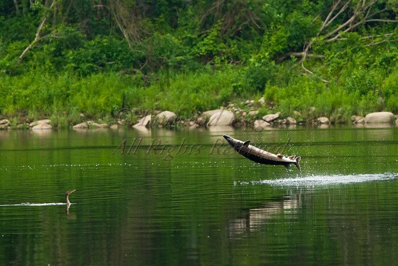 A double Crested Cormorant watches as a sturgeon leaps out of Kennebec River in Augusta, Maine