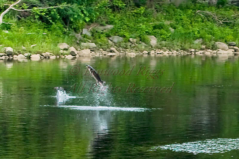 A sturgeon leaps out of the Kennebec River in Augusta, Maine.  An osprey can be seen diving into the river on the left.  June 2010