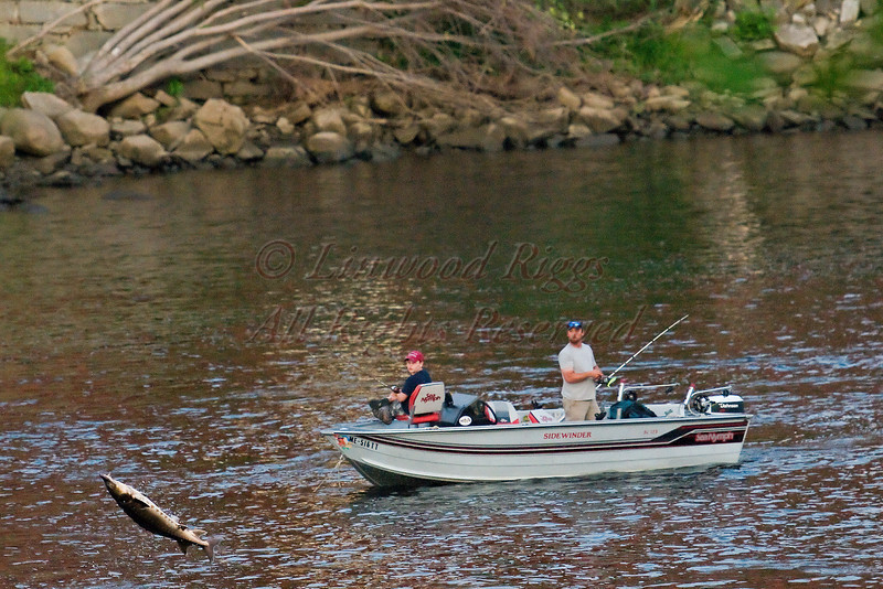 Two fishermen look on as a sturgeon jumps out of the Kennebec River at Augusta, Maine.