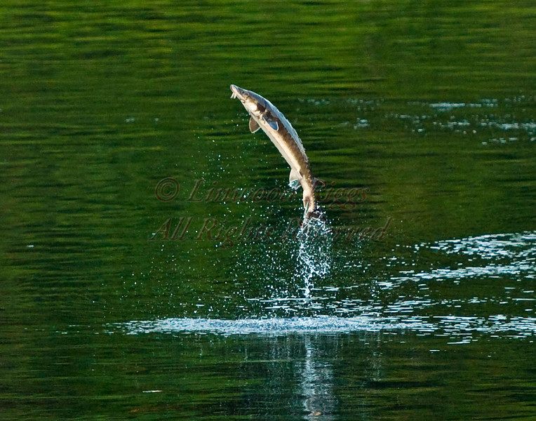 A sturgeon leaps from the Kennebec River in Augusta, Maine. July, 2010