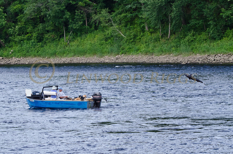 A sturgeon leaps out of the Kennebec River near a fisherman's boat in Augusta, Maine