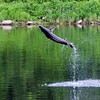 A sturgeon jumps from the Kennebec River in Augusta, Maine