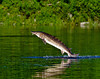 A sturgeon jumps from the Kennebec River in Augusta, Maine.