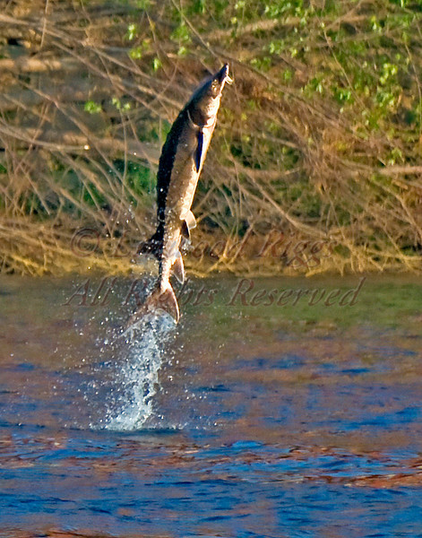 A sturgeon erupts out of the Kennebec River in Augusta, Maine.  May 2010.