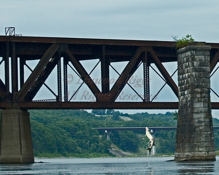 A sturgeon leaps from the Kennebec River in Augusta, Maine