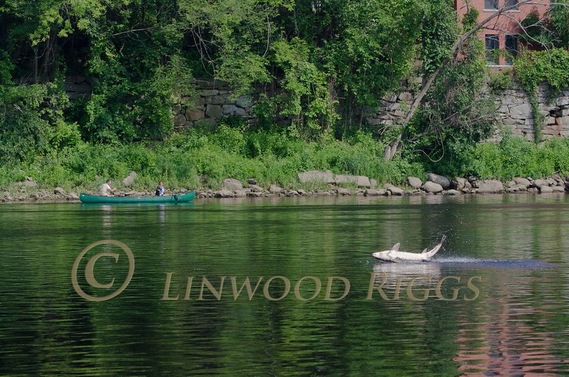 Canoeists watch in amazement as a large sturgeon jumps from the Kennebec River in Augusta, Maine