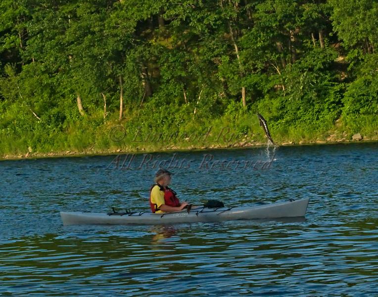 Sturgeon, Kennebec River, Augusta, Maine