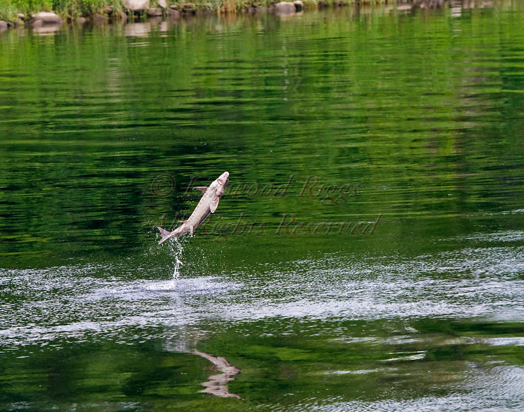 A sturgeon jumps out of the Kennebec River in Augusta, Maine.