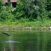A large sturgeon jumps from the Kennebec River in Augusta, Maine as a group of canoeists passes by.
