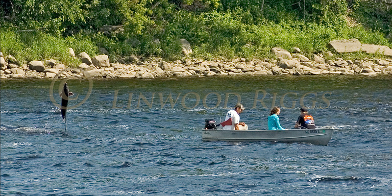 A sturgeon leaps from the Kennebec River near some fishermen in a boat.