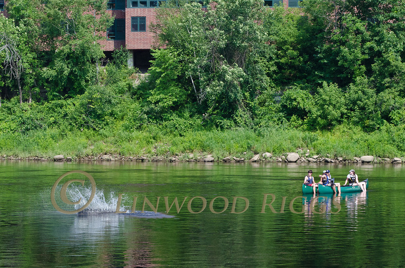 A large sturgeon jumps, then splashes back into the Kennebec River in Augusta, Maine as a group of canoeists passes by.