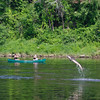 Canoeists pass by as a large Atlantic sturgeon jumps from the Kennebec River in Augusta, Maine