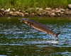 Sturgeon, Kennebec River, Augusta, Maine