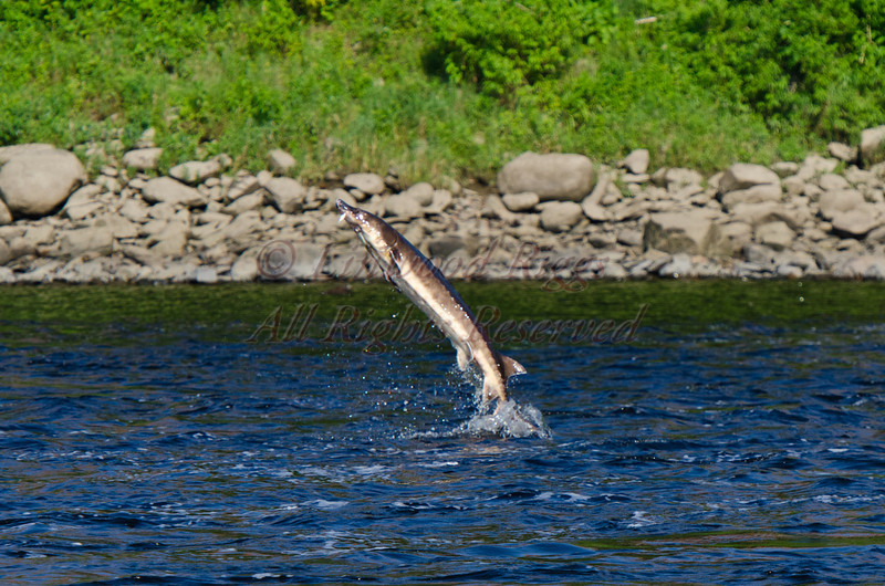 Jumping sturgeon, Kennebec River, Augusta, Maine