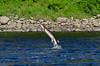 Jumping sturgeon, Kennebec River, Augusta, Maine
