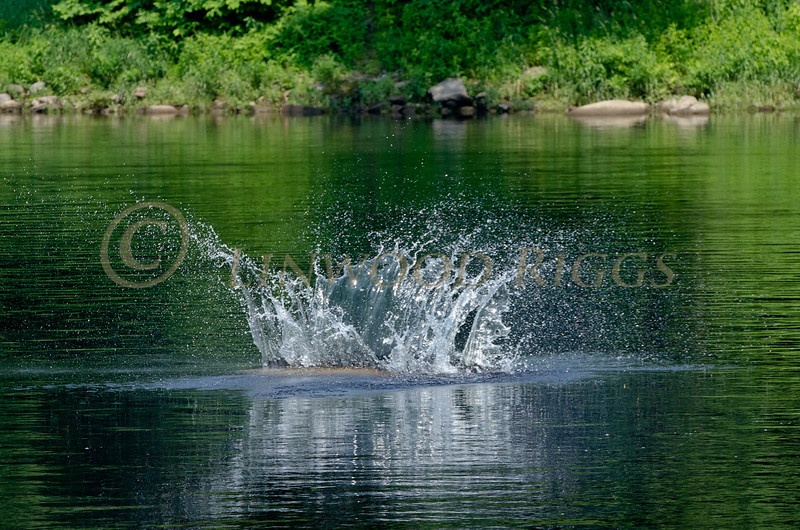 A sturgeon jumps from the Kennebec River in Augusta, Maine and returns with a noisy splashA sturgeon jumps from the Kennebec River in Augusta, Maine and returns with a noisy splash