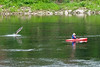 A sturgeon leaps into the air just behind a kayaker on the Kennebec River in Augusta.