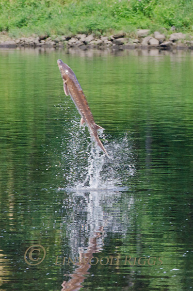 A Shortnose Sturgeon jumps from the Kennebec River in Augusta, Maine.