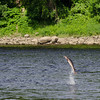 A sturgeon leaps out of the Kennebec River <br /> in Augusta, Maine
