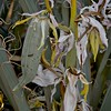 Yucca pods and blooms with ant