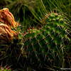Hart shaped prickly pear, Pawnee National Grasslands
