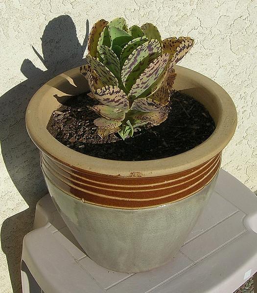 Kalanchoe marmorata  (Penwiper Plant) <br /> Native to Ethiopia, Erythrea, Somalia, Kenya, Sudan