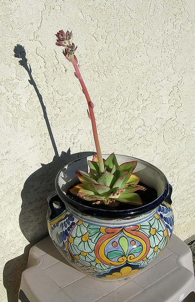 Echeveria cante<br /> Native to the northeast Mexico state of Zacatecas