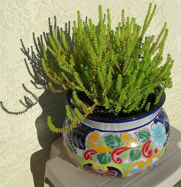 Crassula lycopodioides  (Lizzard's Tail, Watch Chain)<br /> Native to South Africa