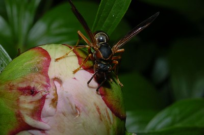 Wasp on Peonie