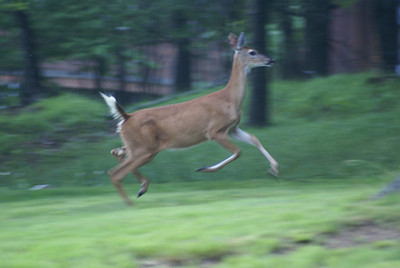 Summer 2008 - Deer