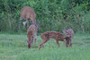 Doe and 3 fawns